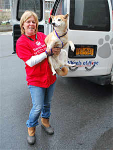 Wheels of Hope transport driver Debbie Fierro delivers Thunderbolt, a Shiba Inu surrendered to AC&C, to a NYC Shiba Rescue foster home. (Photo by Krista Menzel)