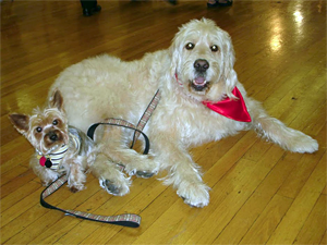 Celebrity canines Bocker the Labradoodle and Jilli Dog, the poker-playing Yorkshire Terrier, will entertain attendees at this year's Whiskers in Wonderland. (Photo courtesy of Bocker the Labradoodle)