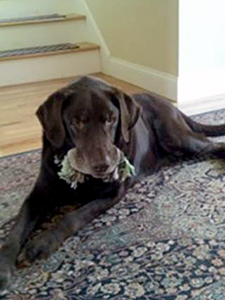 Wheels of Hope transported twelve-year-old chocolate Lab, Eddie, from Animal Care & Control of NYC (AC&C) to a Labs4rescue foster home. (Photo by Rodney Furr)