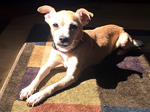 "Jack, a blind Chihuahua mix, ""is my beautiful blonde boy,"" says Laurie Hart, his adopter. ""He's perfect in every way."" (Photo by Laurie and Matt Hart)"