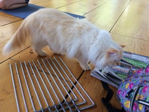 One of Shoshana Perry's cats was particularly interested in the trap divider and newspaper liners that Kathleen O'Malley of the NYC Feral Cat Initiative brought for her presentation to Shoshana's Animal Rights Camp campers. (Photo by Kathleen O'Malley)