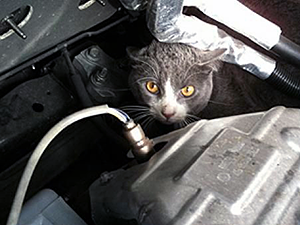 Cat in car engine.
