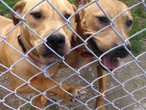 Pit Bull mix puppies, Starr, Farrell, and brother Rocky, were taken in from AC&C by Liz Keller for training.