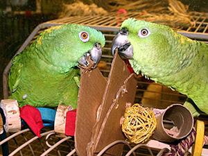(Photo by Foster Parrots, Ltd.)