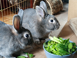 Sisi Zhu adopted sibling rabbits Bonnie and Clyde from Animal Care & Control of NYC (AC&C). (Photo by Sisi Zhu)