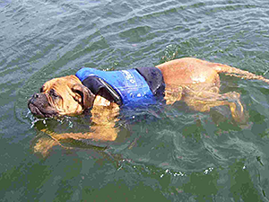 Life has been going swimmingly for Sam, a senior Bullmastiff, since he was rescued and adopted. (Photo by Matt Mitch)