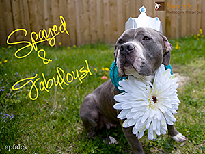 As part of their efforts to reduce the number of pit bulls in shelters, StubbyDog advocates spaying and neutering pets (dressing girly is optional). (Photo by Eric Falck)