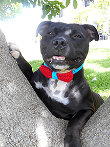 Jambo is one dashing dog, sporting a StubbyDog Crochet for Spays bowtie along with a charismatic canine smile. (Photo by Louise Stapleton Frappell)