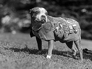 Sergeant Stubby is perhaps the most decorated pit bull mix of all time. Here he is wearing his army coat and medals from his service in World War I.