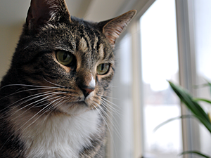 Keeping your cat at home indoors with secure window screens to prevent escape and cooling fans and air conditioning is the best way to ensure her summer safety. (Photo by Krista Menzel)