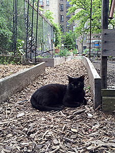 This cat, relaxing in a garden, is part of a carefully managed and monitored Trap-Neuter-Return (TNR) colony. (Photo by Thea Feldman)