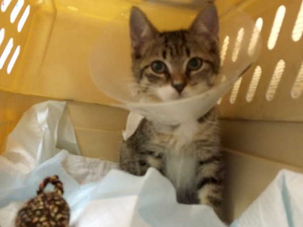 Kitten Friday was found with a tail injury, so she spent several weeks at the vet for treatment and observation. The clinic staffer who is fostering her plans to adopt her.