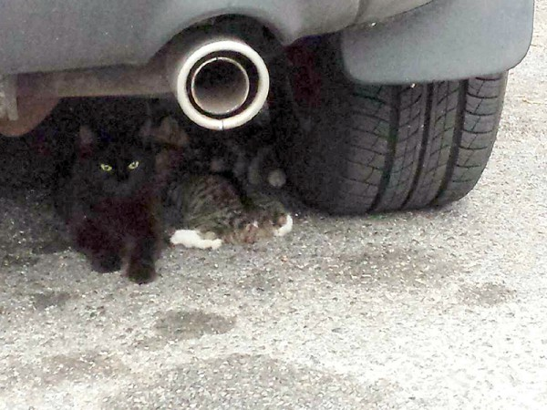 One of the NYPD parking lot kittens, Friday (nursing under tailpipe), was missing part of her tail, so she was given special veterinary care after she was trapped.