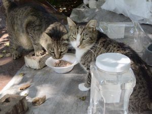 Feeding your colony cats out in the open will provide you with an opportunity to create an awareness of and interest in what is happening with the cats in a neighborhood. (Photo by Maggie O'Neill)