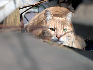 Feral cats should not be relocated unless their lives are at risk. (Photo by Urban Cat League)