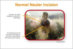 Normal Neuter Incision (Photo by ASPCA)