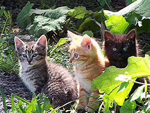 Feral or otherwise unsocialized kittens are most easily tamed for adoption and indoor life between the ages of four and eight weeks.
