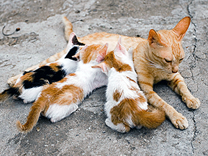 Internal and external cues encourage a mother cat to wean her kittens and teach them to survive on their own between four and eight weeks of age so she can regain her condition for the next breeding cycle. (Photo by Tim Wang)