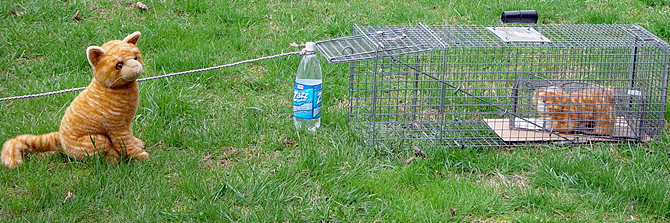PHOTO 2: In the reverse situation, when mom isn't trapped first and won't go near the trap, the bottle and string are also necessary because putting another trap inside a trap renders the trip plate unusable. Hopefully the kitten will call out to mom. For the photo, the trap is out in the open, but trapping may work better in a secluded area or with the end of the trap covered so mom will need to go into the trap to approach the kitten. (Photo by Urban Cat League)