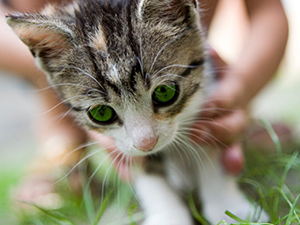 Taming feral kittens for adoption can support the ultimate success of a TNR project.