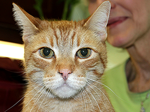 7-year-old orange tabby, Baxter, is just one of the Frankie's Fund for Feline Care & Rescue senior cats who will be available for adoption at Cauz For Pawz Thrift Stores on May 4. (Photo by Melina Gabler)