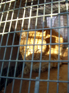 The Deputy, a feral cat who was injured by a car engine, had to be euthanized. (Photo by Sheila Massey)