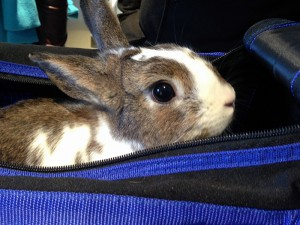 Oscar was neutered at last year's free rabbit spay/neuter clinic at the Humane Society of New York. (Photo by Sandra DeFeo, The Humane Society of New York)