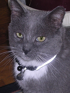 Evon's other cat, Mr. Peepers, now wears a reflective collar with an ID tag to help people locate his owner should he get lost. (Photo by Evon Handras)