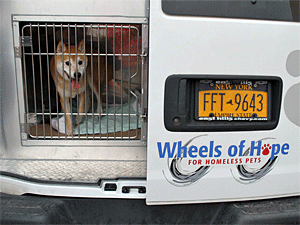 Shiba Inu Thunderbolt got a ride from AC&C to a foster home in a Wheels of Hope van. Your donations keep the Wheels of Hope turning! (Photo by Krista Menzel)