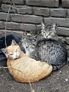 The July 27 agreement designates Trap-Neuter-Return (TNR) as the best feral cat management practice for NYC. (Photo by Krista Menzel)