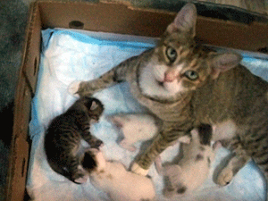 Friendly Gypsy and her four newborn kittens were removed by NYCFCI volunteers from a potential flood area in the Bronx.