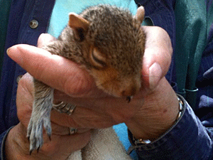An experienced Queens kitten bottle-feeder rescued a squirrel from the floodwaters, warmed her up, and transferred her to the Wild Bird Fund for rehabilitation and release.